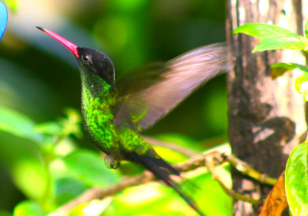 Jamaika Rocklands Bird Sanctuary