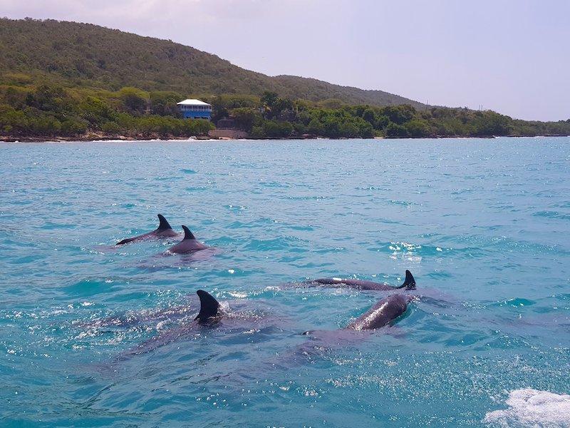 Delfine auf dem Weg zur Pelican Bar Jamaika