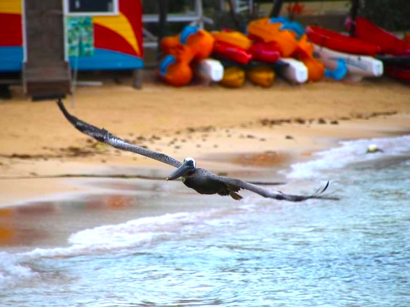 Pelikan in Jamaika