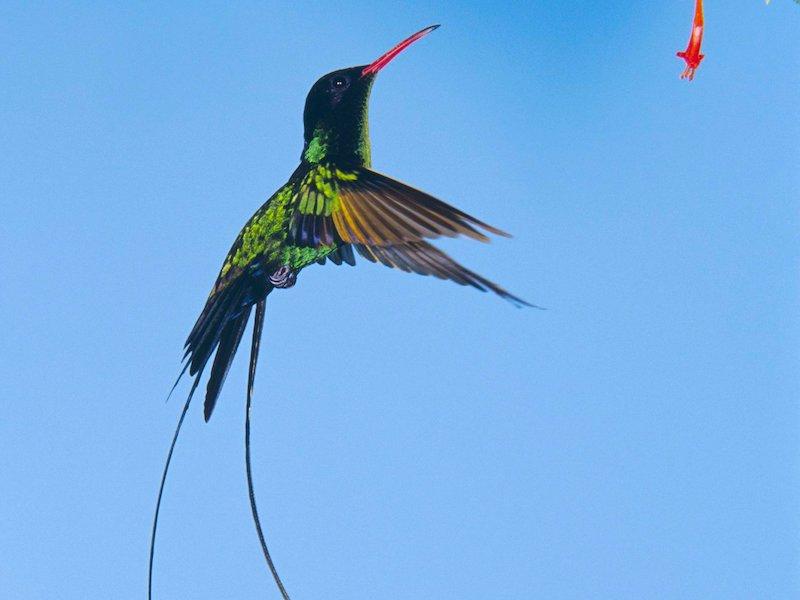 Bild Jamaika Vogel Doctor Bird