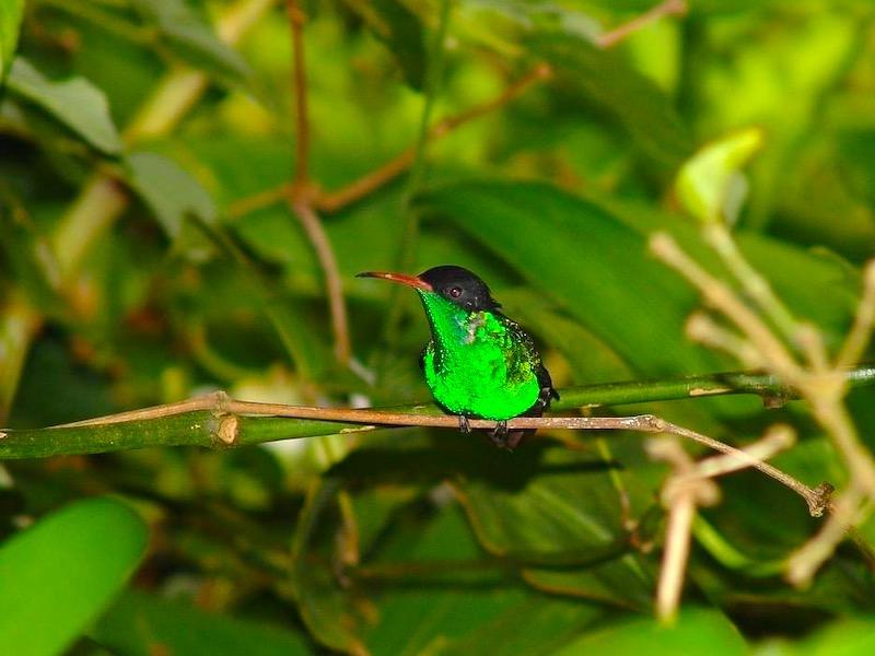 Jamaika Insider Doctor Bird
